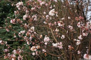 Viburnum x bodnantense dawn, scented flowers, Winter Flowering Shrub