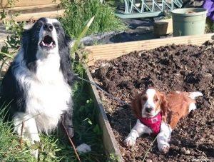 welsh springer spaniel puppy, border collie, allotment gardening, grow your own puppy, sharpe, amy
