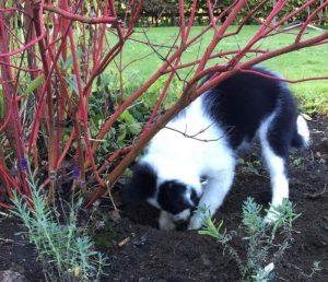 millie digging next to dogwood, border collie puppy, cornus, lavender