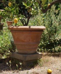 lemon tree, terracotta pot, fallen lemon, borghese gardens, rome