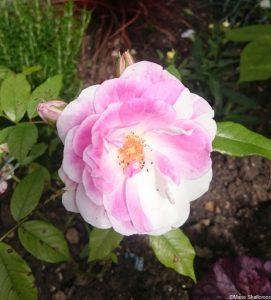 rosa mundi, rose bush