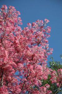 toona sinensis flamingo, chinese cedar tree, deciduous