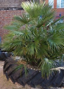 palm, rubber tyre, sand pit, sutton house, london, unusual containers for planting, quirky planters, container gardens