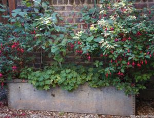 water tank planter, fuchsias, geranium, unusual containers for planting, quirky planters, container gardens